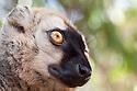 Red fronted brown lemur {Lemur fulvus rufus} portrait, Kirindy forest, West Madagascar