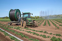 Irrigating potatoes - Norfolk, May