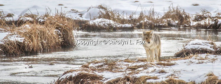 A lone coyote stands in the snow in Yellowstone.
