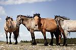 Western horses - wild mustangs of  the Pryors