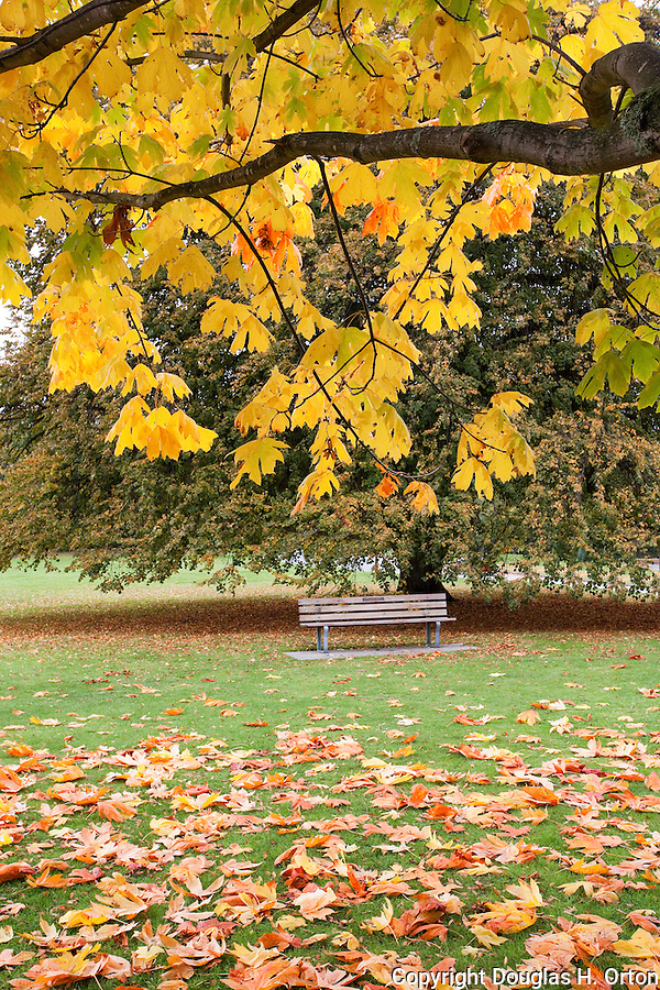 An empty park bench sits undedr gorgeous fall color in Stanley Park, British Columbia.  In urban Stanley Park, the promenade takes walkers, bikers, and bladers past the downtown skyline and lush natural gardens.