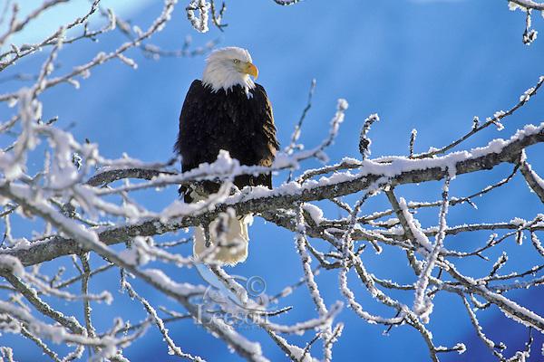 Bald Eagle (Haliaeetus leucocephalus) perched on tree limb after winter snow.