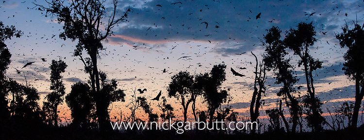 Straw-coloured fruit bats (Eidolon helvum) returning to daytime roost at dawn. Kasanka National Park, Zambia.