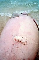 dugong, Dugong dugon, killed by aboriginal hunters, showing penis, Torres Straits, Australia