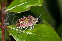 Beerenwanze, Beeren-Wanze, Dolycoris baccarum, sloe bug, sloebug