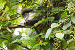 Red-tail Monkey (Cercopithecus ascanius) feeding on fruit in tree, Kibale National Park, western Uganda