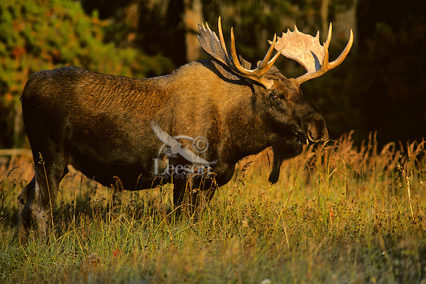 Bull Moose standing near forest edge.  Western U.S., fall.