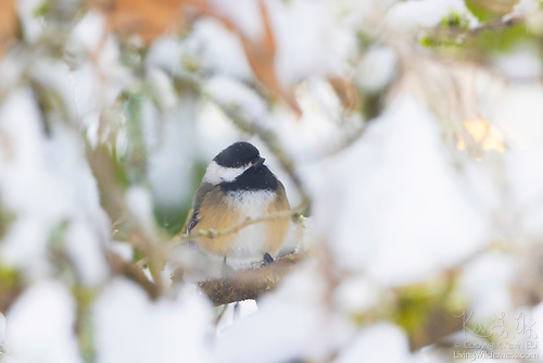Chestnut-Backed Chickadee in Snow, Washington