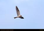 White-Tailed Kite, Evening Flight, Ballona Creek, Southern California