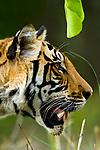 Male Bengal tiger (Panthera tigris tigris) walking through long grass. Kanha National Park, Madhya Pradesh, India.