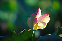 Close up of a Lotus blossom