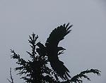 Crow, Moran State Park, Orcas Island, Washington