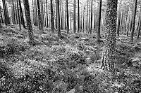 Scots Pine, Rothiemurchus, Cairngorm National Park, Highland
