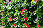 Rows of hanging Inpatiens with irrigation tubes in a greenhouse