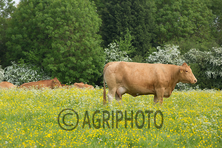 Suckler cow in a meadow <br /> Picture Tim Scrivener 07850 303986<br /> tim@agriphoto.com<br /> ….covering agriculture in the UK….