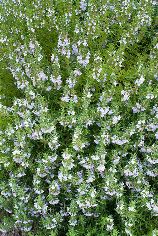 Satureja montana (Winter Savory) culinary herb in bloom with lavender blue flowers