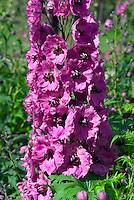 Delphinium 'Pink Punch' perennial in flower in summer