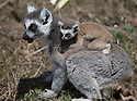 """16/05/16<br /> <br /> """"That looks so scary.""""<br /> <br /> Three baby ring-tail lemurs began climbing lessons for the first time today. The four-week-old babies, born days apart from one another, were reluctant to leave their mothers' backs to start with but after encouragement from their doting parents they were soon scaling rocks and trees in their enclosure. One of the youngsters even swung from a branch one-handed, at Peak Wildlife Park in the Staffordshire Peak District. The lesson was brief and the adorable babies soon returned to their mums for snacks and cuddles in the sunshine.<br /> All Rights Reserved F Stop Press Ltd +44 (0)1335 418365"""