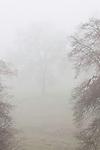 Oak trees in the fog near Jackson, Calif.