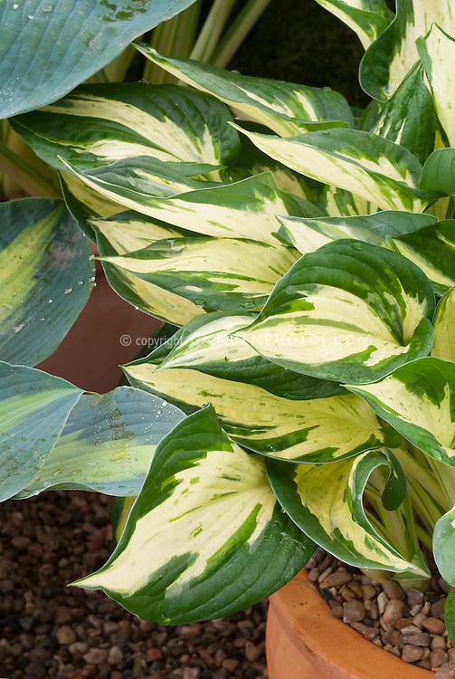 Hosta 'Revolution with white cream center, variegated shade garden folige plant, in pot container