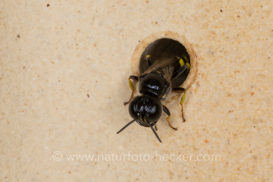 Grabwespe am Loch einer Wildbienen-Nisthilfe, Crossocerus cf. quadrimaculatus, digger wasp, Crabronidae, Grabwespen, digger wasps