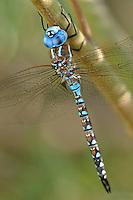 339360045 a wild male blue-eyed darner rhionaeschna multicolor perches on a bush along a canal off jean leblanc road near bishop inyo county california united states