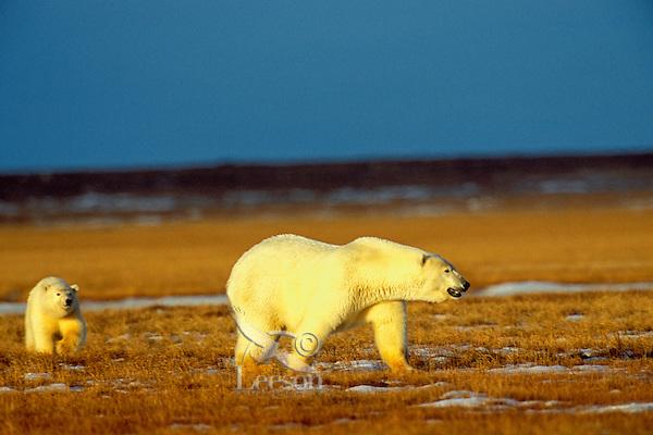 Polar Bears--sow with cub--walking across tundra near the Beaufort Sea coast, Arctic National Wildlife Refuge, Alaska.  Oct.
