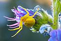 Goldenrod Crab Spider (Misumenia vatia) waiting to ambush its insect prey. Nordtirol, Austrian Alps, Austria, June.