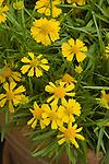 HELENIUM AMARUM 'FANTASTIC FLOWERS DAKOTA GOLD'