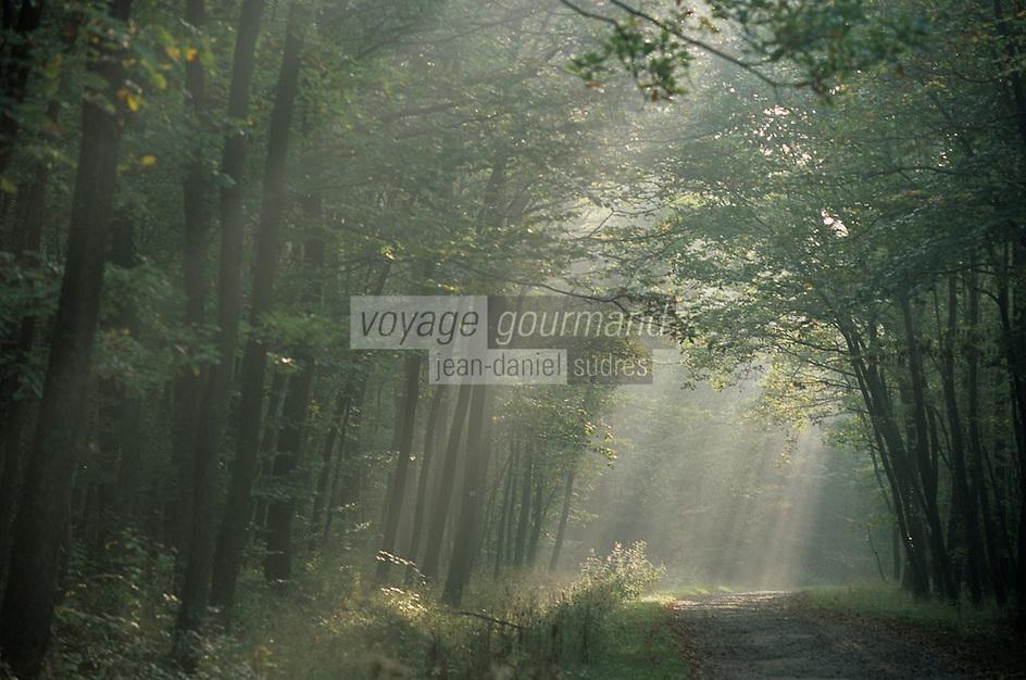 Europe/France/Alsace/67/Bas-Rhin/Gimbelhof: Jeu de lumière dans le brouillard sur la Route forestière