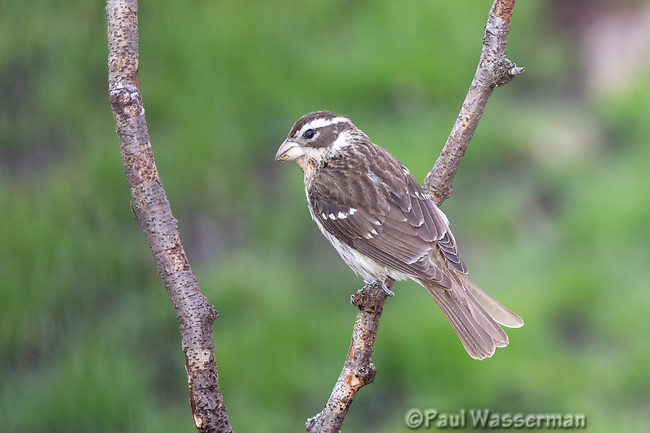 Female Rose Breasted Grosbeak