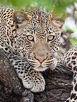 Those large lantern-like eyes give this boy a unique look among the many leopards I've encountered over the years.