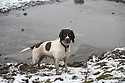 29/01/17<br /> <br /> Following overnight snowfall, springer spaniel, Chester,  stands by a frozen pond near Grinlow Tower,  Buxton in the Derbyshire Peak District.<br /> <br /> All Rights Reserved F Stop Press Ltd. (0)1773 550665 www.fstoppress.com