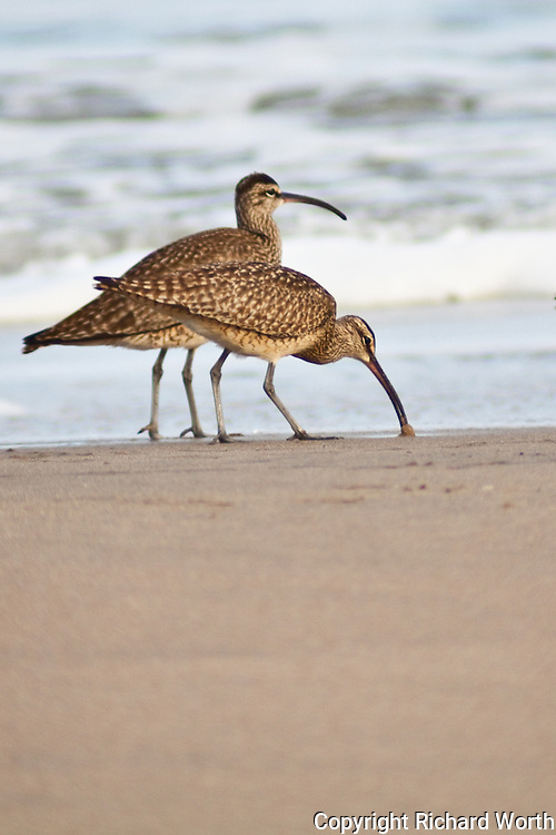 One of two whimbrels using its downward curved bill to probe for food in the sand at Pomponio State Beach, California.