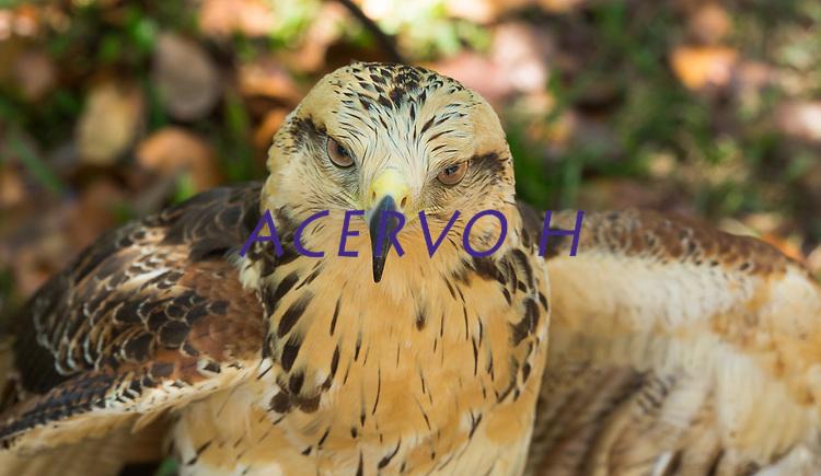 Gavião-caboclo (Heterospizias meridionalis)