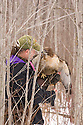 00432-028.13 Falconry (DIGITAL) Falconer offers a red-tailed hawk a bit of food during a hunt in heavy cover during winter.  V6R1