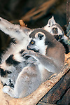 ring-tailed lemur full body view, 2 shot, vertical