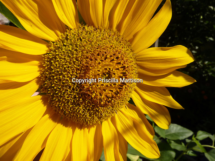 Closeup of a brightly lit sunflower against a dark background.