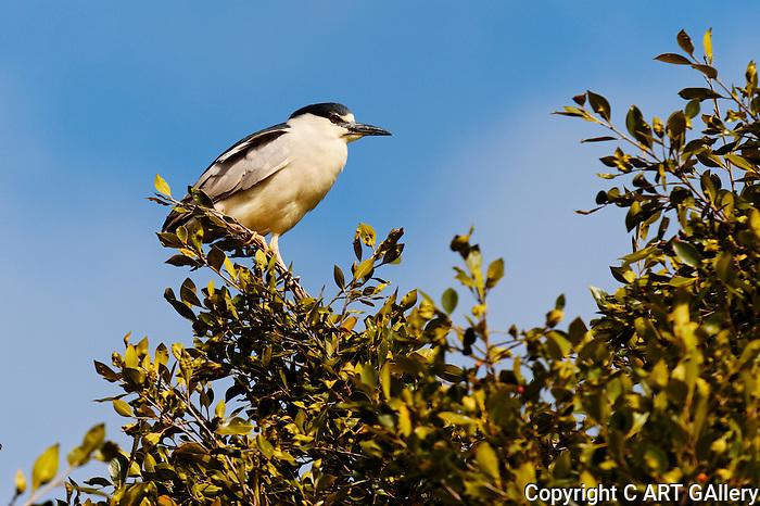 Black-Crowned Night-Heron on a branch, Upper Newport Bay, CA.