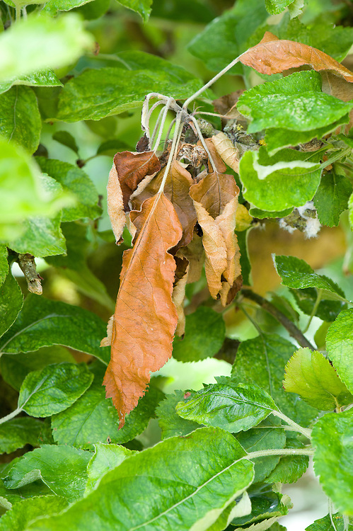 Apple blossom wilt can affect both flowers and young leaves. In severe cases, whole shoots may die back. It is caused by a fungus very closely related to the one responsible for brown rot. It is caused by a fungus very closely related to the one responsible for brown rot.