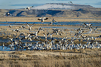 Snow Geese (Chen caerulescens) landing in field, Lower Klamath NWR, Oregon/California.  Feb-March.