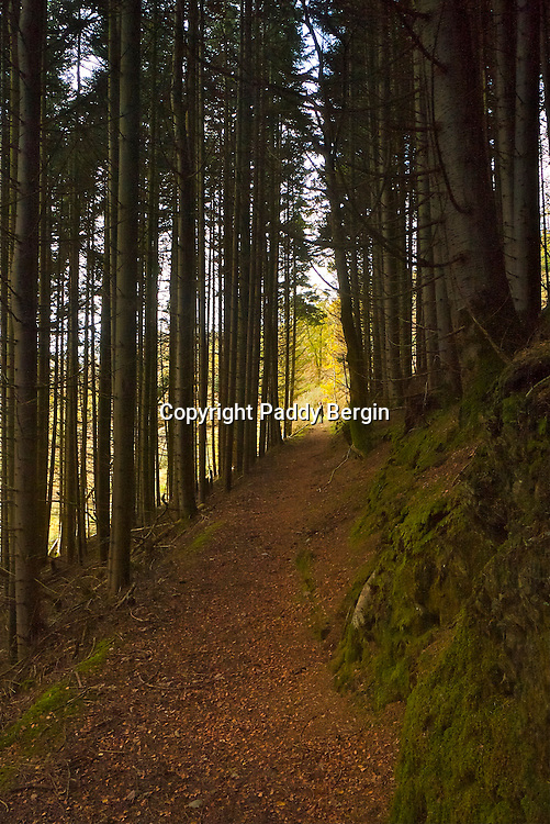 An Autumn walk through woodlands near Llanafan, Ceredigion, West Wales with tall conifers straight as a dye and turning paths almost into tunnels.<br /> <br /> Stock Photo by Paddy Bergin