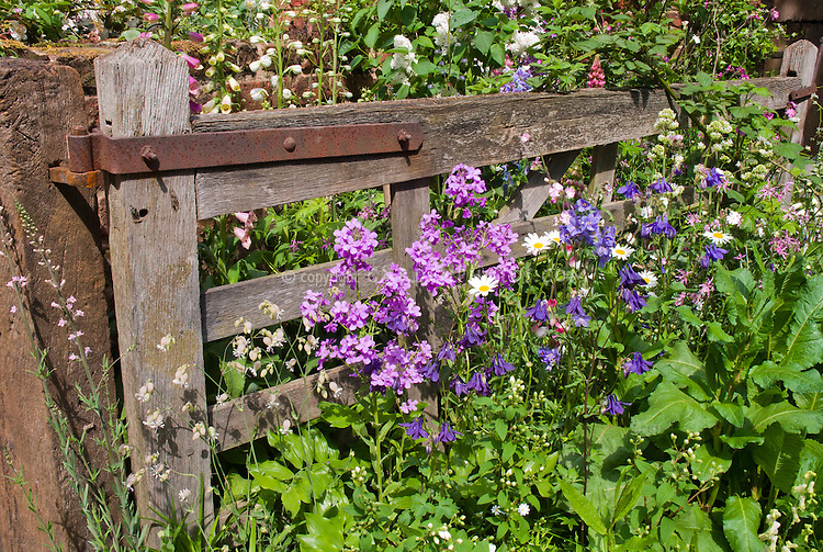 Fence and cottage style naturalistic flowers, phlox, leucanthemum, delphinium, rustic wooden farm fencing, wildflowers, simple, heirloom flowers