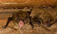 MA20-561z  Little Brown Bats, Myotis lucifugus