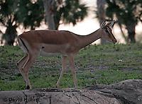 0214-08mm  Impala Antelope, Aepyceros melampus © David Kuhn/Dwight Kuhn Photography