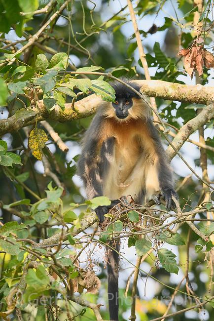 Capped langur (Trachypithecus pileatus). Manas National Park, India.