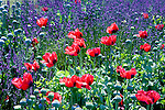 Lavender fields in Sequim, Washingtion, whichs hosts an annual Lavender Festival in mid July.  Poppies add interest to display gardens. Olympic Peninsula