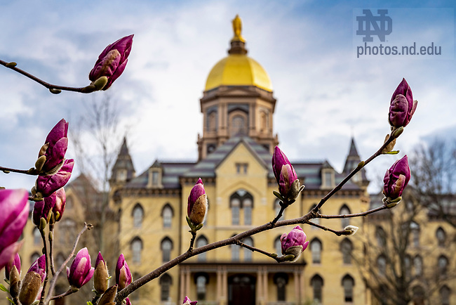 April 14, 2020; Pink magnolia tree blooms in front of the Main Building. (Photo by Barbara Johnston/University of Notre Dame)