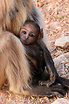 A baby grey langur is held protectively by its mother.