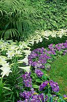 "Primula Obconica ""Juno Blue"" and Easter Lilies, Callaway Gardens, Georgia"